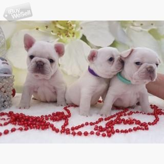 Lilac And Tan French bulldog Puppies,