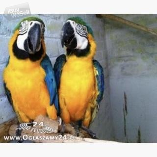 Parrots and their fertile eggs for sale. (England ) Manchester