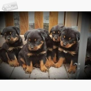 Rottweiler puppies for adoption.
