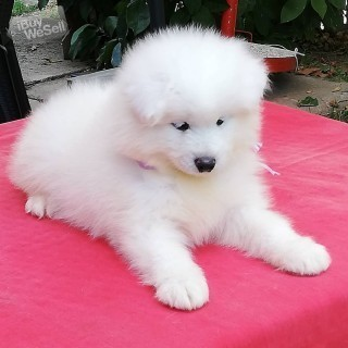 Samoyed Pups looking for new homes.