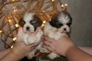 Shih Tzu available