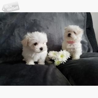 Snow White Baby Doll Face Tea-Cup Maltese Terrier Puppies. (England ) Birmingham
