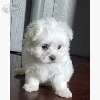 Sociable Tea-Cup Maltese Puppies For Sale. (England ) Huddersfield