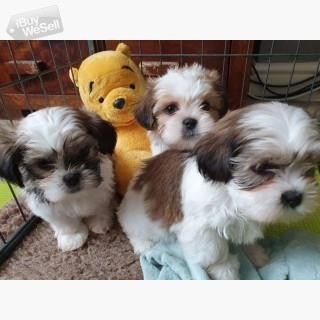 Stunning Shih Tzu puppies available.