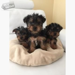 Super Adorable Teacup Yorkie Puppies