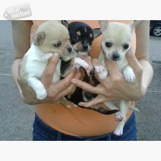 Super Tiny Chihuahua Smooth Coat Babies