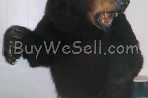 Taxidermy Black Bear Mount