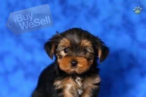 Teacup Yorkie Puppies For Re homing ready to go
