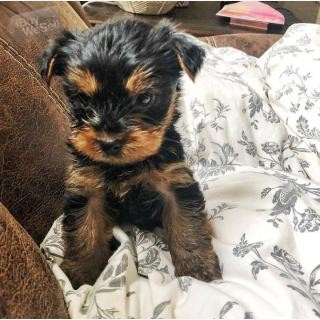 Teacup Yorkie puppies available (England ) Birmingham