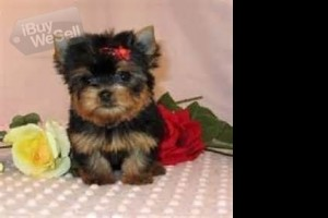 Teacup yorkie pups ready for adoption now....!!!