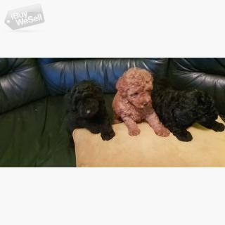 Toy Poodle Puppies (England ) Bournemouth