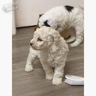 Toy Poodle puppies.
