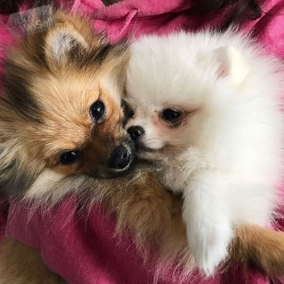 Two beautiful Pomeranian Puppies