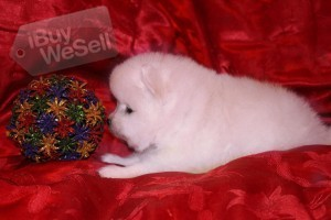 White and Cream Gorgeous Pomeranian Boy and Girl for sale