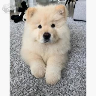 chow chow puppy Melbourne