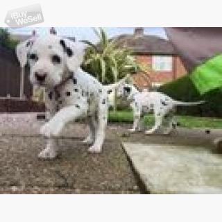lovely male and female Dalmations Puppies