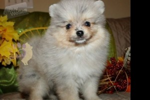 male and female pomeranian puppies for new homes