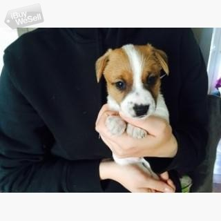 valfritt White Shortlegs Jack Russell Puppies just In Time