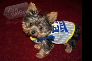 very happy and playful yorkie puppies and like to give kisses